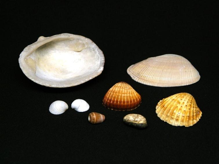 conchas de mar para hacer velas