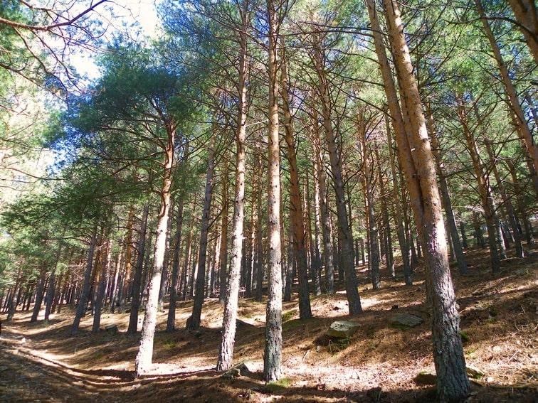 zona repoblada con pinos en el monte abantos