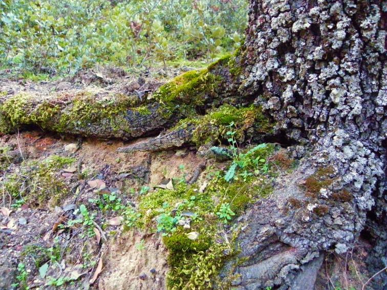 monte de el pardo tronco de una encina con musgo y liquenes