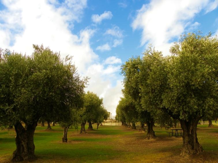 olivar de la hinojosa en el parque juan carlos I en la ciudad de madrid