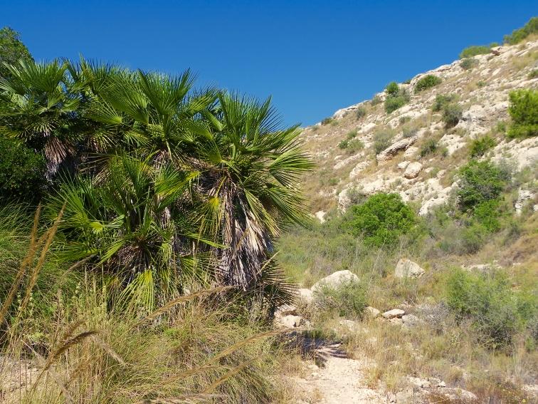 planta palmitos en el borde del estrecho sendero en el lecho del barranco de la tia amalia santa pola