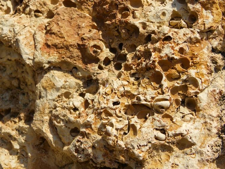 branquiopodos fosiles en el barranco de la tia amalia santa pola