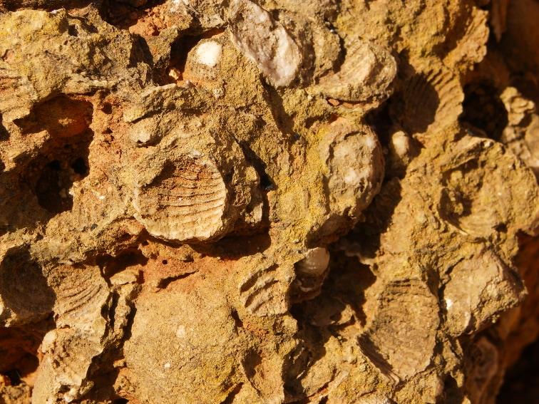 branquiopodos fosiles en una roca en la fulla rotja sierra de santa pola