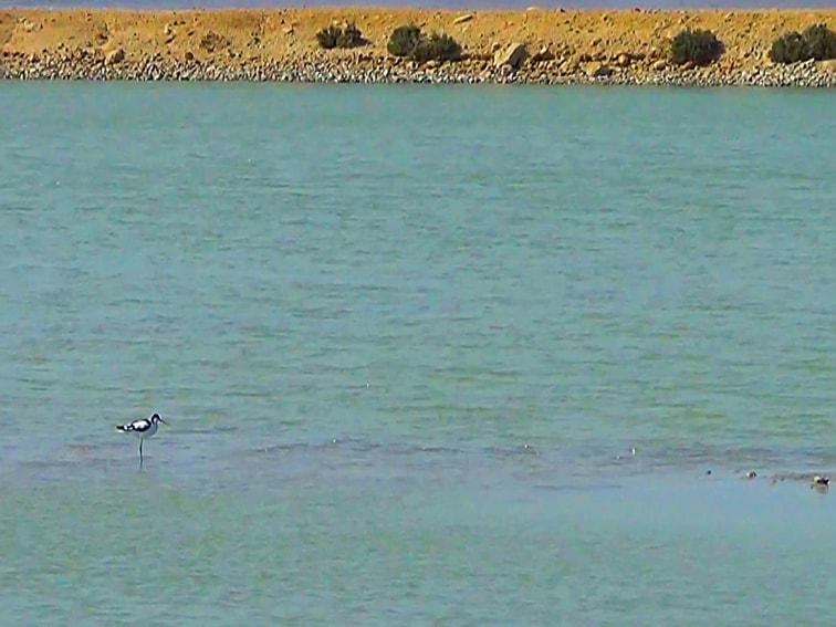 avoceta comun en una balsa salinera en el parque natural de las salinas de santa pola.jpg