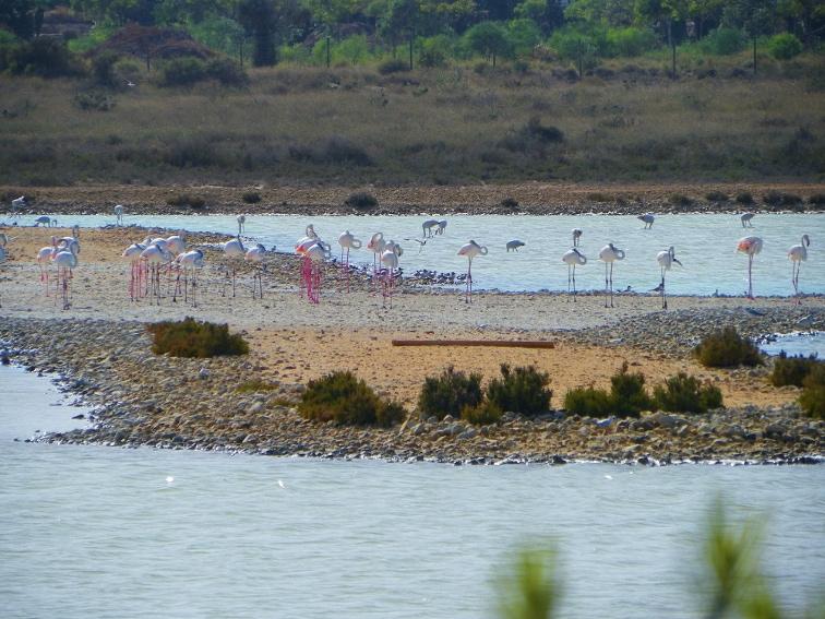 crias de flamenco en balsa salinera en el parque natural de las salinas de santa pola