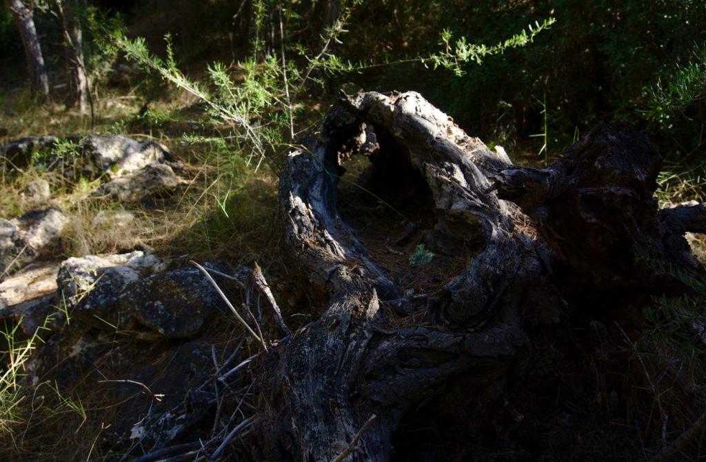 tronco de algarrobo caido y seco en el barranco de paco mañaco santa pola