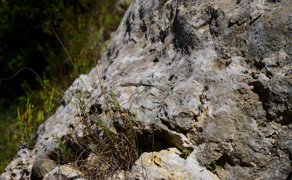 lagartija tomando el sol en roca del lecho del barranco en la sierra de santa pola