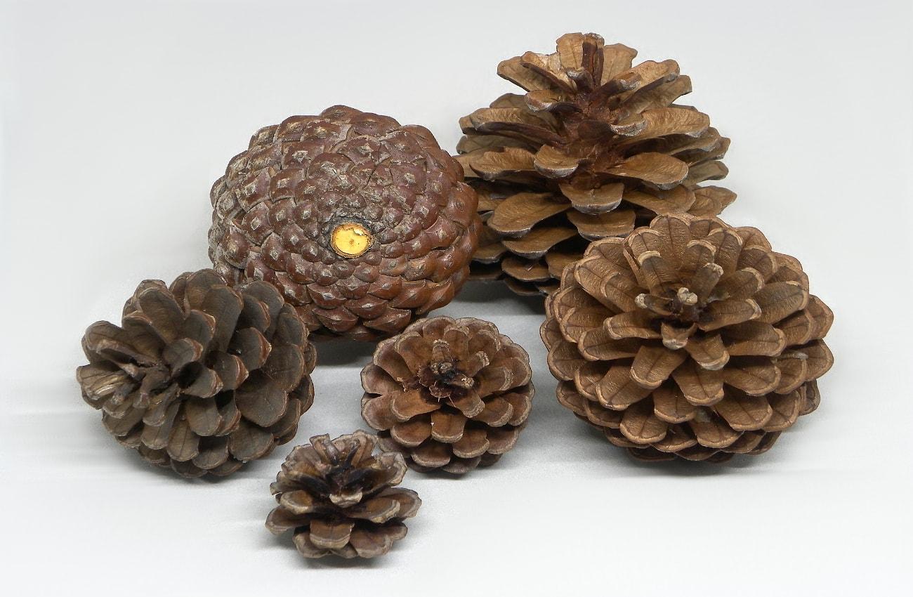 piñas secas de pino con diferentes tamaños